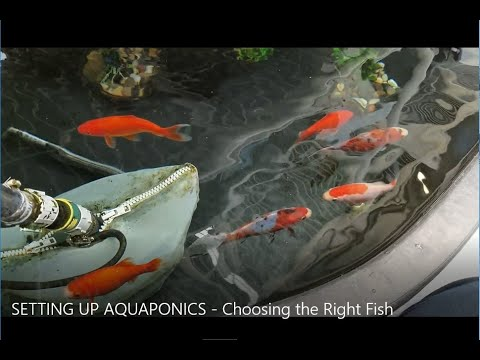 Setting Up Aquaponics - Choosing The Right Fish
