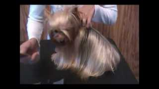 How To Brush A Yorkie