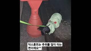 패팅입고 산책하는 강아지 닥스훈트 #봄이 #추위타는강아…
