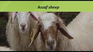 Assaf овца 9.11.2016.