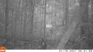 Cachorro-do-mato-vinagre (Speothos venaticus) na Floresta Nacional do Tapajós