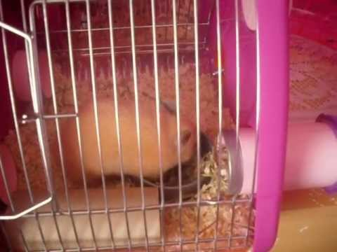 Pixie in her new PINK Rotastak Magic Maze cage :) 27/05/2012