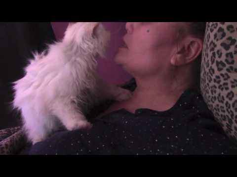 PERSIAN KITTENS DESIRAE CUDDLING