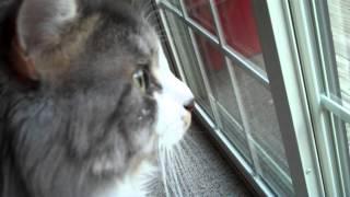 "Introducting Russian Siberian Cat Tesla To ""his"" Bird Feeder"