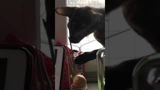 Ориентальная кошка пробует лук