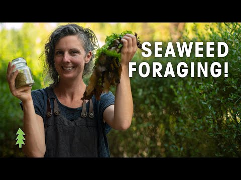 How to Forage Seaweed and Make A Delicious Seasoning! (Hands On with Milkwood Permaculture)