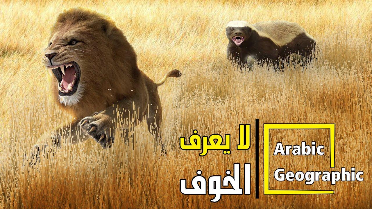 معلومات عن الأسد ملك الغابة وثاني أكبر الحيوانات في العالم الحيوانات والحياة البرية Youtube