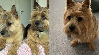 GOODNATURED NORWICH TERRIERS