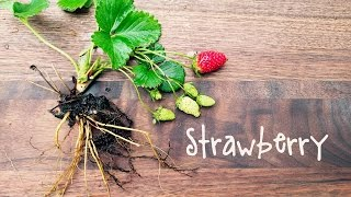 How-To Grow Strawberries | IN BETH'S GARDEN