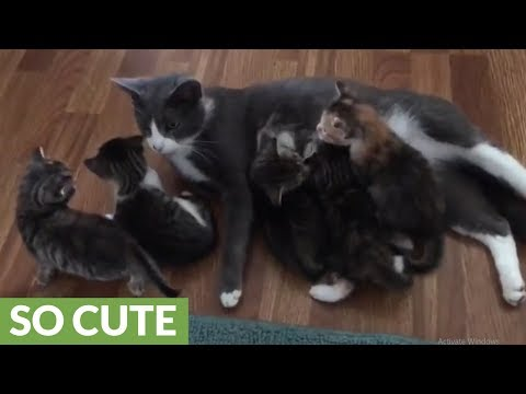 Dachshund cautiously meets kittens while mom watches