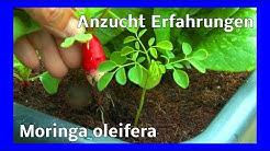 Die schwere Anzucht der Moringa Pflanze neue Erkenntnisse im Wachstum und Aussaat im Film