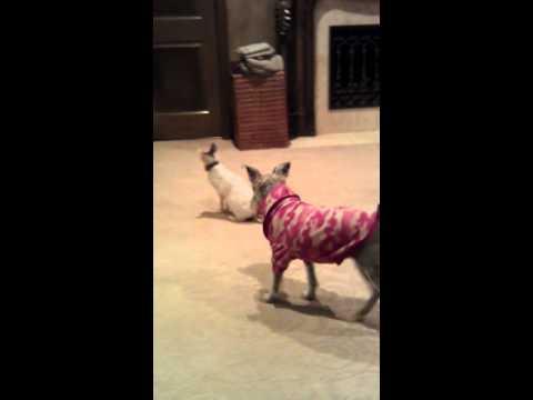 VICIOUS CAT ATTACK!!   FunnyCat.TV