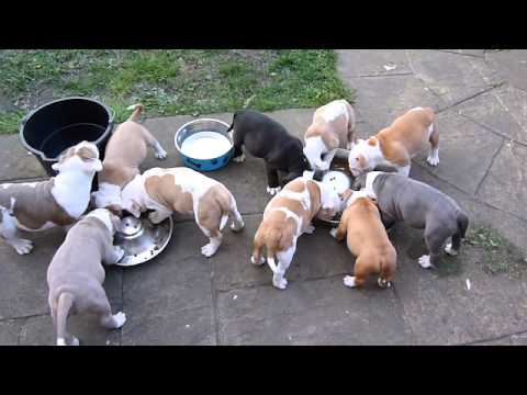 Beautiful Chunky Old English Bulldog Puppies