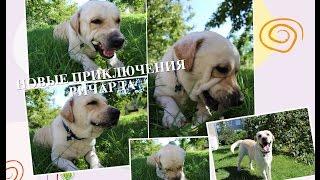 Смешной лабрадор / собака воет(Лабрадор учится выть по видео с другими собаками Не забудь подписаться)) Ричард ждет твоих лайков))), 2016-08-28T11:30:37.000Z)
