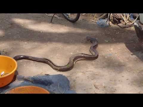 Eel Caught in Chinese Fishing Nets in Fort Cochin India