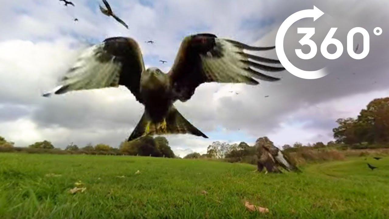 360° Red Kite Bird Feeding Frenzy 4k - BBC Earth Unplugged