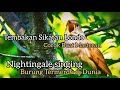 Burung Sikatan Londo Gacor Buat Masteran Nightingale Bird Singing  Mp3 - Mp4 Download