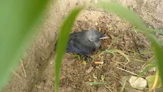 Ворона говорит отстань