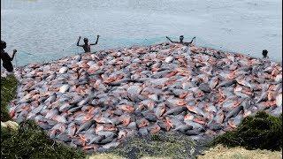 LOT OF LIVE RUPCHANDA/PACU FISH CATCHING AT LAKE