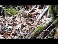 山中湖 大洞の泉のミソサザイ その21(4K60P動画)