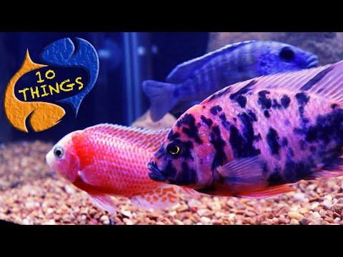 The Most Aggressive Fish? The Most Colorful Fish?Top 10 Things About African Cichlids (Lake Malawi)