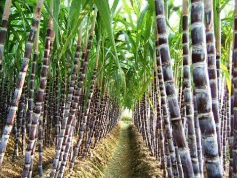 Resultado de imagen de fotos cultivo de caña de azucar