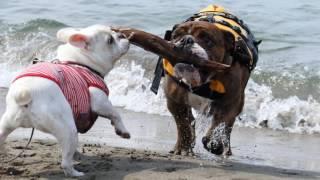 2017年6月24日 よくドッグランで遊んでるお友達と一緒に海へ! □登場犬...