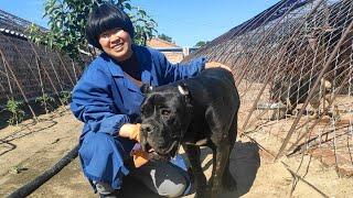 卡斯羅阿憨自由了,不用每天被關在籠子裡,把其餘的狗子們氣的一直叫【劉哥在農村】