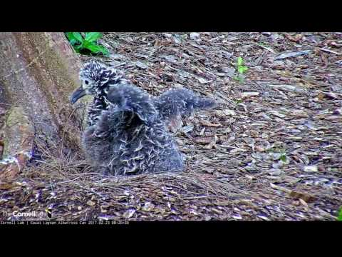 Kalama is One Active Chick in the Nest – Feb. 23, 2017