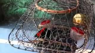sepah putri/Scarlet-backed Flowerpecker