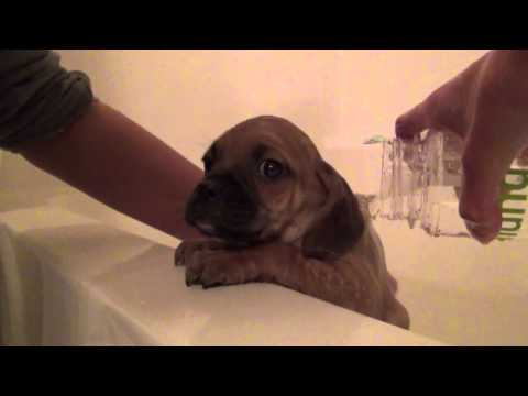 Tucci's 1st Tubby - Cute Puggle Puppy