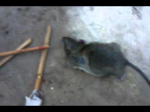 Trampa para ratas parte 2 youtube - Trampas para cazar ratas ...