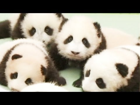 Baby pandas unveiled in China's Sichuan Province - no comment