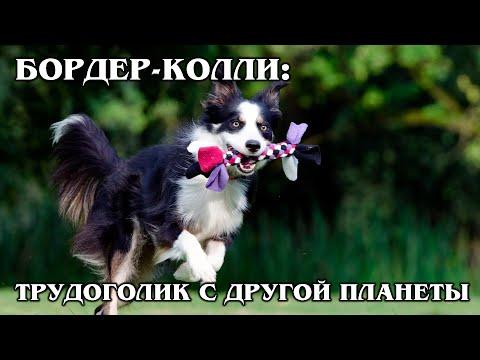 БОРДЕР-КОЛЛИ: Самый умный и трудолюбивый пёс   Интересные факты про породы собак и животных