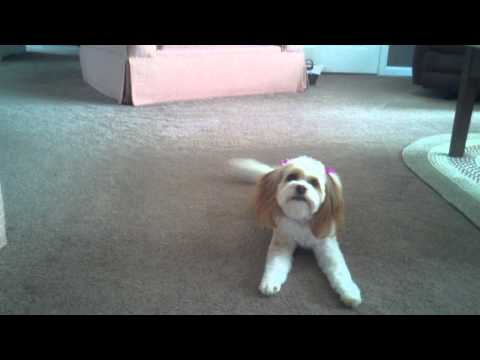 2 year old Cavachon barking and chasing bone