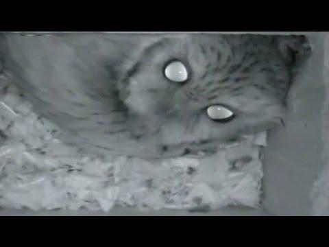 Haunting Eastern Screech Owl Calls !
