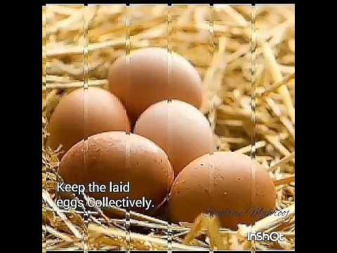 Natural Chicken Egg Hatching Process.