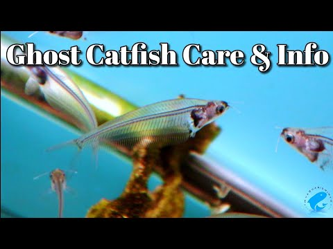 Ghost Catfish Glass Catfish Care And Information - Kryptopterus Vitreolus