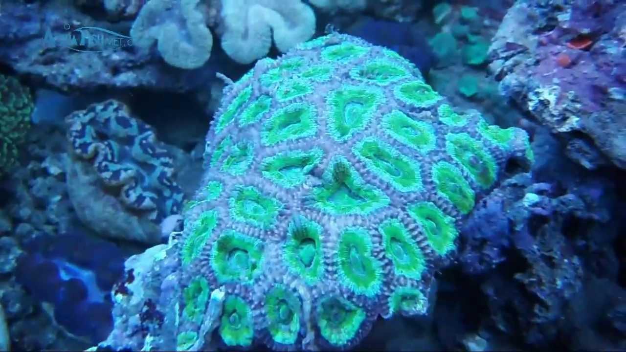 Green Pineapple Coral Favites Sp Aquafishvietcom Youtube