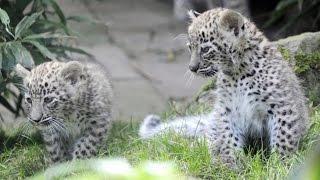 В России экологи опасаются за среду обитания леопардов (новости)