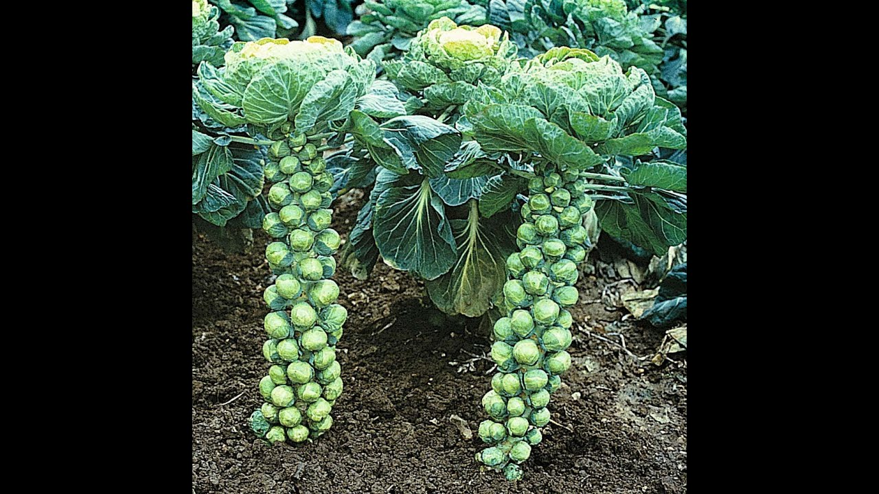 How To Grow Brussels Sprouts Pruning & Trimming #64