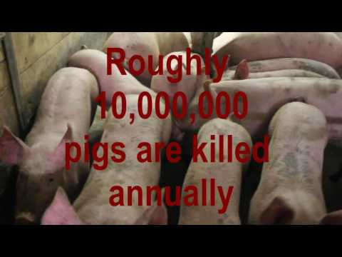 European Organic Pig Farming- Bacon tho