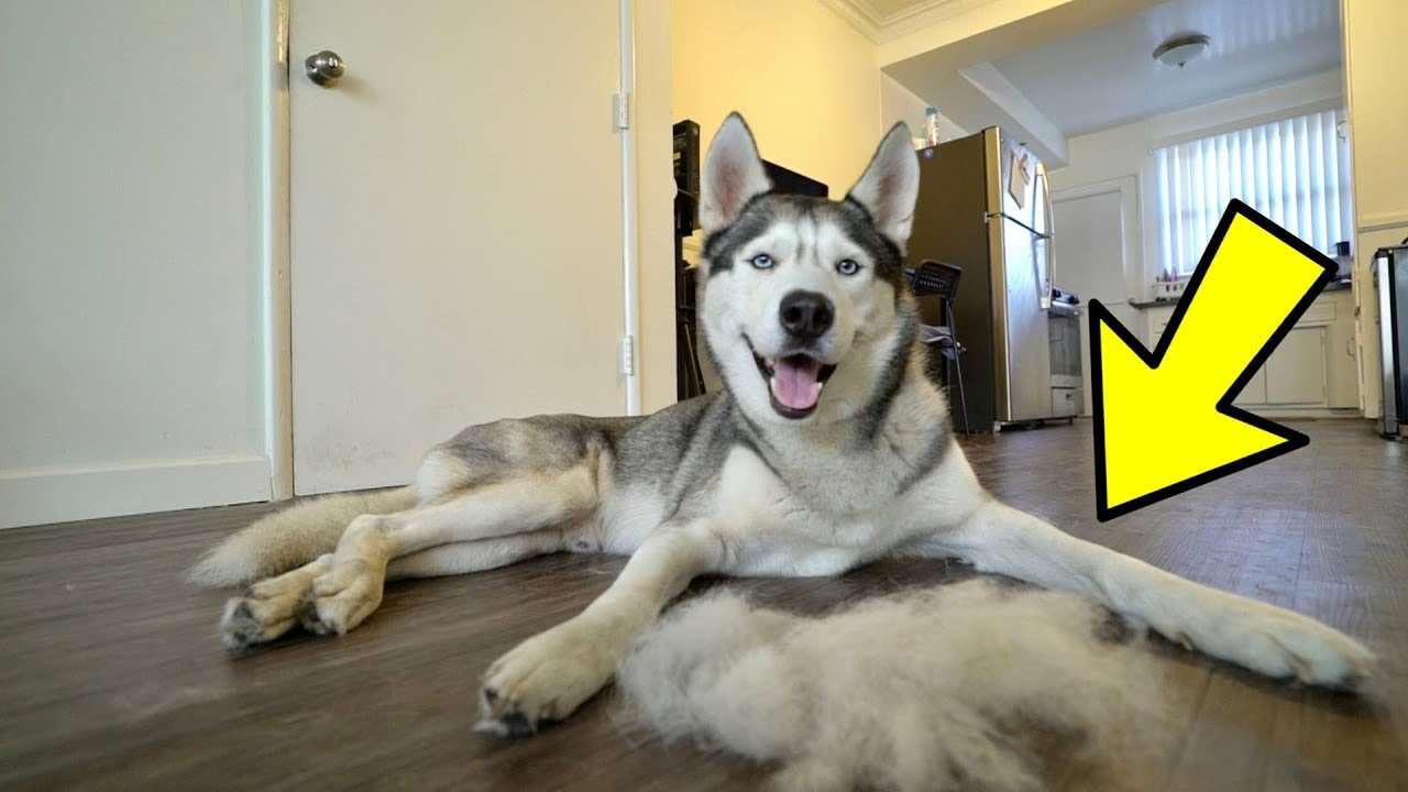 what-a-husky-shedding-his-coat-looks-like