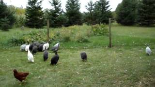 Who said Guinea Fowl are loud??