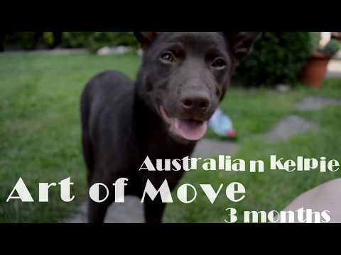 Art of Move FastForJoy the Australian kelpie (3 months)