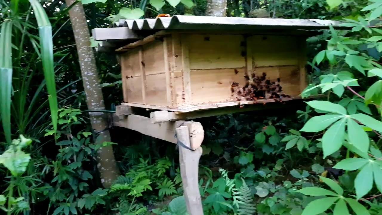 chuẩn bị vào vụ thu hoạch ong chúa để nhân giống 2021LH 0829075555 để đặt hàng #Vietongde#