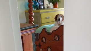 This senior beagle always gets super excited about his morning routine