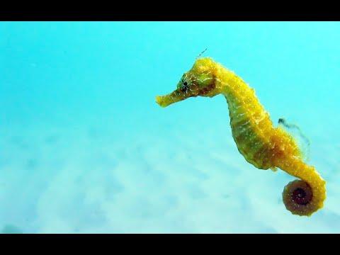 МОРСКОЙ КОНЕК Рыбки Морские коньки