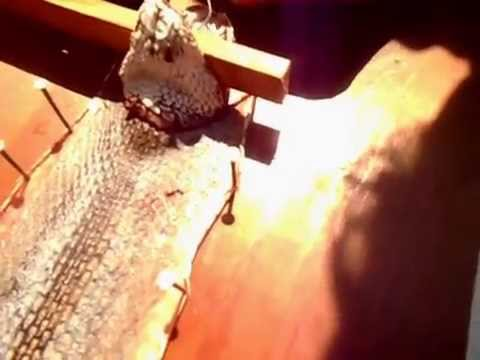 How to skin a rattlesnake (head on) the easy way (part 1 of 2)