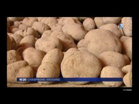 La culture de la  pomme de terre  dans la Marne